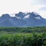 Plantations de palmiers à huile