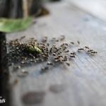 Attaque de fourmis !