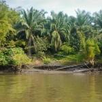 Sur les berge de la rivière à travers la mangrove